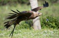 La renovación águila, época de cambio