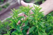 Propiedades de la Stevia: di adiós al azúcar refinado