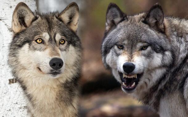Cuentos para la reflexión :: La leyenda de los dos lobos